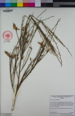 Image of Cytisus striatus