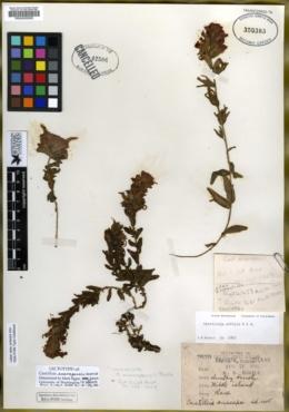 Castilleja anacapensis image