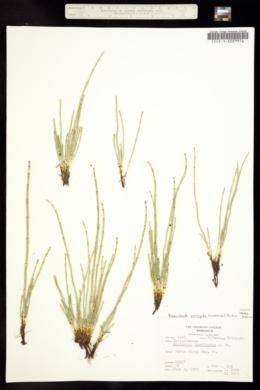 Hippochaete variegata image