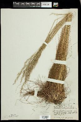 Deschampsia flexuosa image