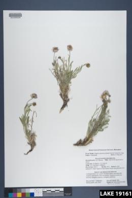 Erigeron concinnus image