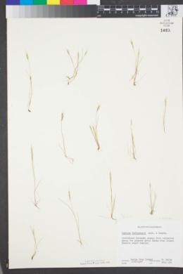 Vulpia bromoides image