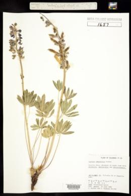 Lupinus ammophilus image