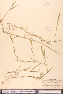 Agrostis vinealis image