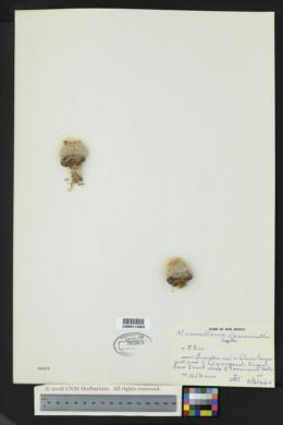 Mammillaria lasiacantha image
