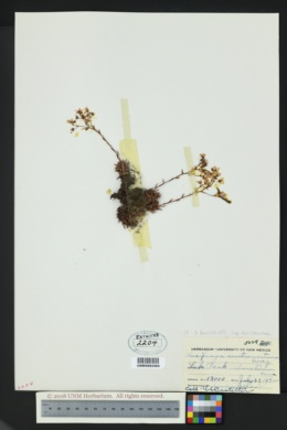 Saxifraga bronchialis image