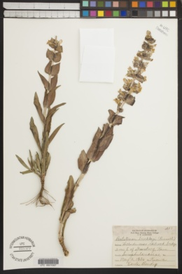 Penstemon buckleyi image
