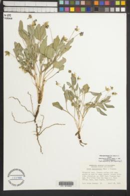 Viola quercetorum image