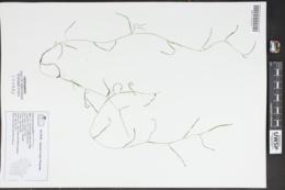 Potamogeton pusillus subsp. tenuissimus image