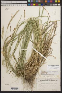 Elymus × saundersii image