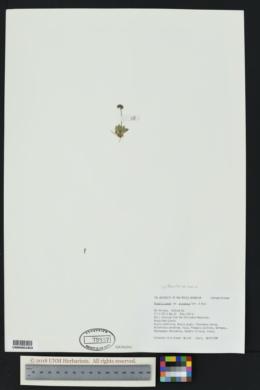 Phacelia arizonica image