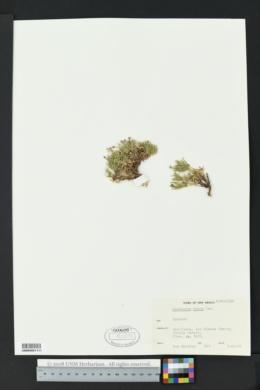 Houstonia rubra image