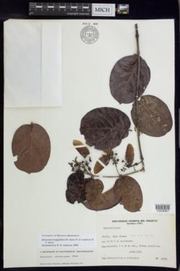 Image of Bronwenia longipilifera