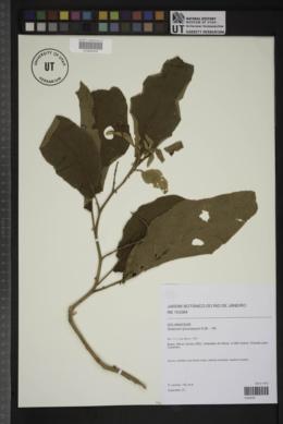 Solanum lycocarpum image