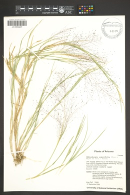 Muhlenbergia asperifolia image