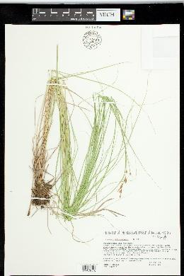 Carex straminea image