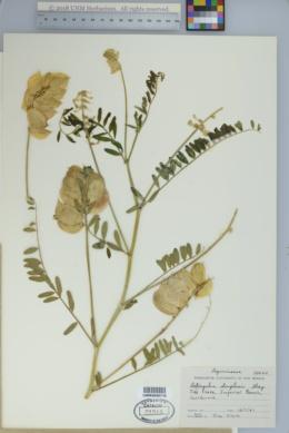 Astragalus douglasii image