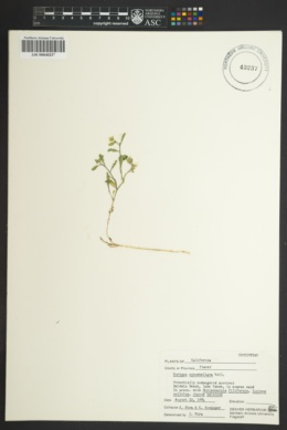 Rorippa subumbellata image