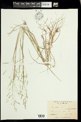 Poa autumnalis image