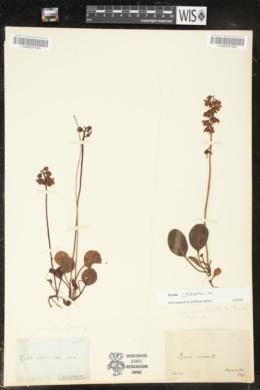 Pyrola chlorantha image