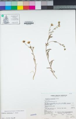 Image of Erigeron lassenianus