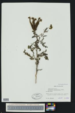 Phacelia neomexicana image