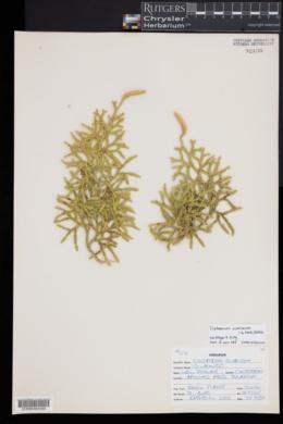 Diphasium scariosum image