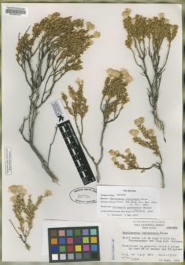 Image of Haplopappus juarezensis