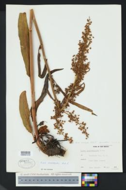 Image of Rumex nematopodus