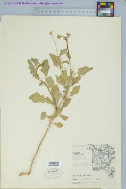 Brassica nigra image