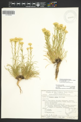 Image of Petradoria graminea