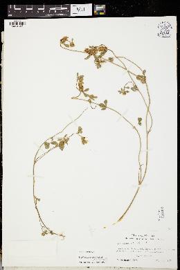 Trifolium echinatum image
