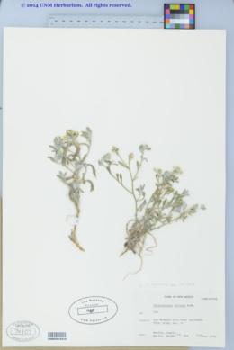 Psilostrophe villosa image