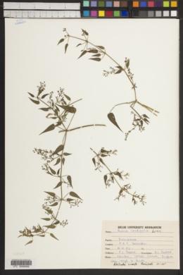 Image of Rubia cordifolia