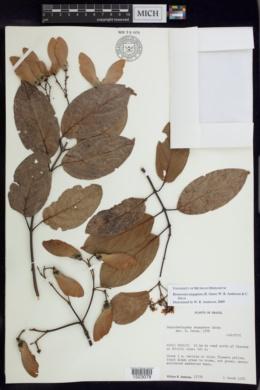 Image of Bronwenia megaptera