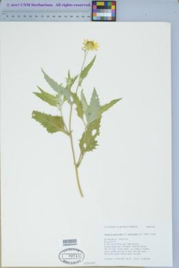 Verbesina encelioides subsp. encelioides image