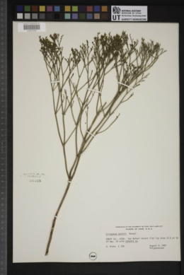 Eriogonum smithii image