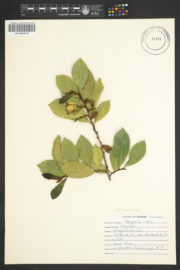 Image of Magnolia coco