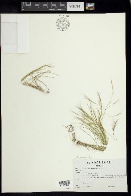 Aristida havardii image