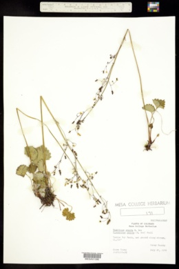 Micranthes nelsoniana image