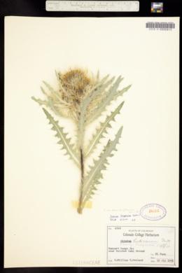 Cirsium eatonii image