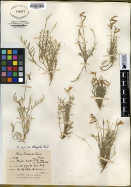 Astragalus miser var. oblongifolius image