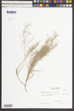 Muhlenbergia utilis image