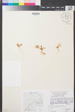 Image of Calyptridium parryi