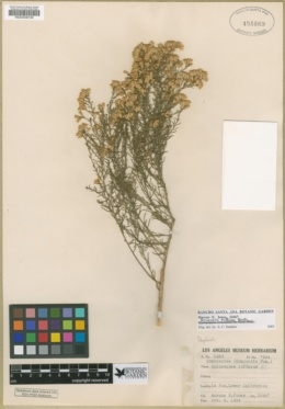 Xylothamia diffusa image