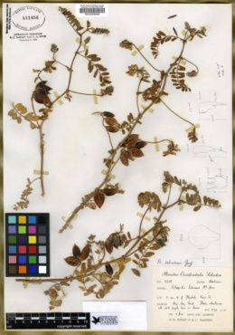 Astragalus subcinereus image