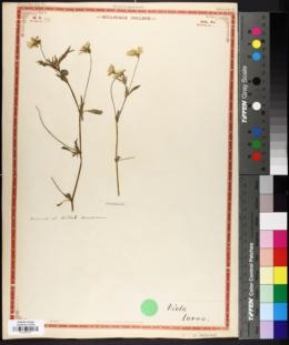 Image of Viola lutea