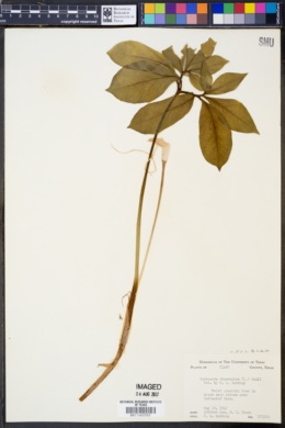 Image of Muricauda dracontium