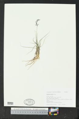 Sporobolus nealleyi image