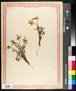 Image of Viola delphinantha